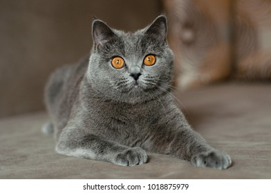 grey cat relaxing
