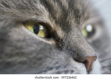 A grey cat stare at the camera with detailed in her eyes