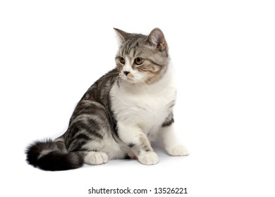 Grey cat with a white breast