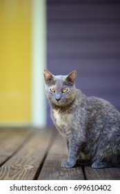 Grey cat with yellow eyes on wooden porch with yellow and purple background