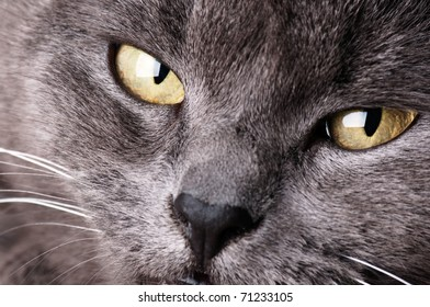 Grey cat's face, close-up
