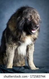 Grey Caucasian Shepherd Dog