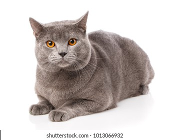 Grey Chartreux cat with yellow orange eyes isolated on white background. Studio shot. Origin from France. Beautiful pet.
