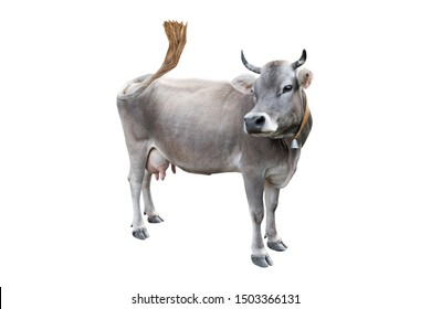 grey cow isolated on a white background