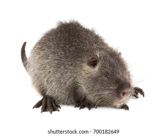 Grey Coypu (Myocastor coypus) aka river rat or nutria mammal animal isolated on a white background