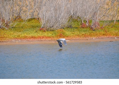 grey crane flying over the lake on nature reserve on gran canaria canary island in spain