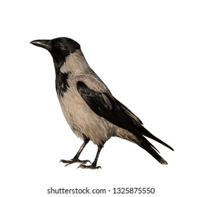 Grey crow on white isolated background