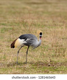 Grey crowned Crane (Balearica regulorum)