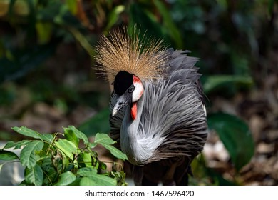 Grey crowned crane (Balearica regulorum). The grey crowned crane is a bird in the crane family, Gruidae. It is found in eastern and southern Africa, and is the national bird of Uganda.