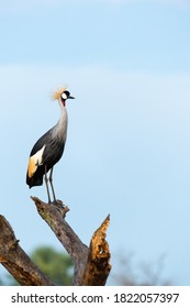 Grey Crowned Crane (Balearica regulorum) perching on a broken tree with a blue sky in the background