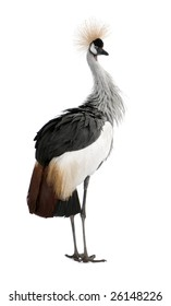 Grey Crowned Crane - Balearica regulorum (18 months) in front of a white background