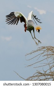 Grey Crowned Crane coming in for a landing