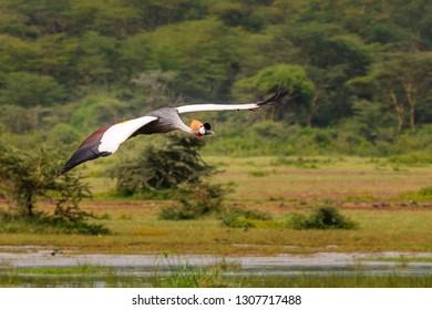 Grey Crowned Crane in flight