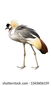 Grey crowned crane isolated on white background