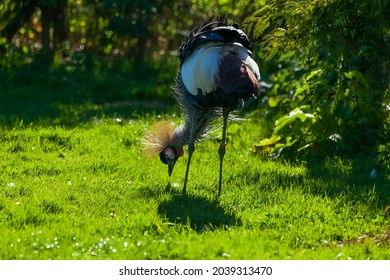 Grey crowned crane standing in a meadow with its head down, looking for food in the grass.