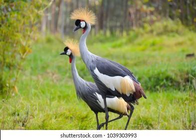 Grey crowned cranes, Musanze, Rwanda