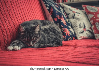 Grey cute cat laying on red couch closeup