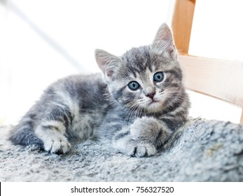 grey cute kitten resting on a chair looking into the camera with its blue eyes