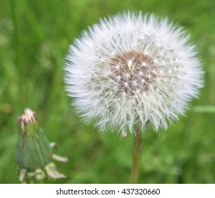 Grey dandelion in the forest of Eastern Europe