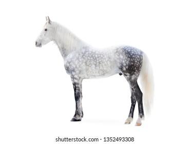 grey dappled orlov trotter horse full stand portrait