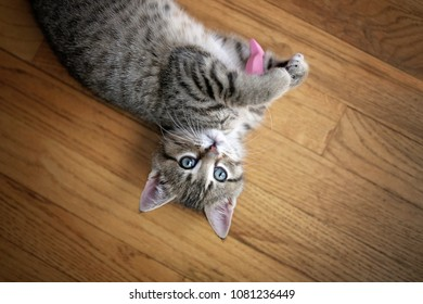 A grey, Domestic Short Hair Tabby Cat kitten is laying on her back on the wood floor, playing with a toy and looking at the camera with her blue eyes.