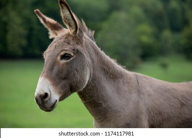 grey donkey on green background, big ears, nature photography, animal photo, green background