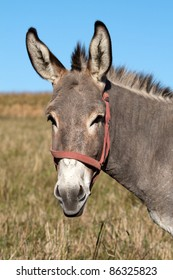 Grey donkey in the pasture
