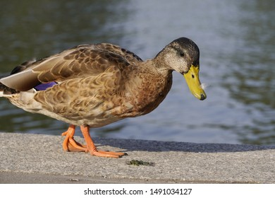 the grey duck searching food in the soft sunlight at dawn or sunset on the bank of river in the soft sunlight at dawn or sunset
