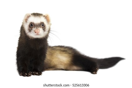 Grey ferret in full growth lies, isolated on white background