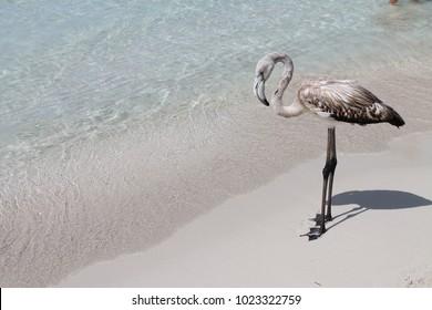 grey flamingo on a beach in lampedusa