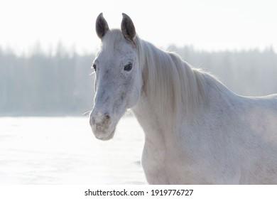 Grey flea-bitten half-arabian mare in the winter field full of snow in cold sunny weather. Animal portrait.