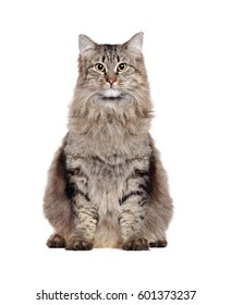 Grey fluffy oversized cat sitting in a white  studio