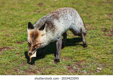 Grey fox with brown eyes eats cheese