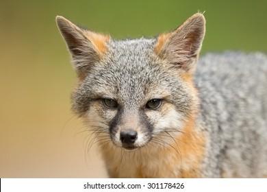 Grey Fox Close Up Portrait