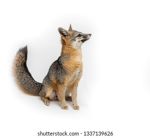 Grey Fox Close Up Portrait Isolated on White Background