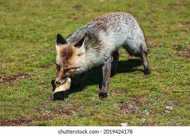 Grey fox eats cheese on the field