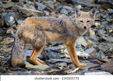 Grey fox relaxing in the top of Cerro Guanaco in Ushuaia, patagonia Argentina