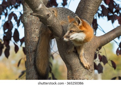 Grey Fox (Urocyon cinereoargenteus) Curled in Tree - captive animal