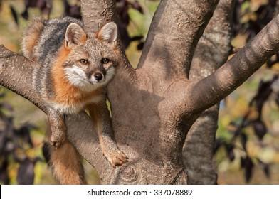 Grey Fox (Urocyon cinereoargenteus) Hangs Out in Tree - captive animal