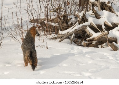Grey Fox (Urocyon cinereoargenteus) Looks Towards Root Pile Winter - captive animal