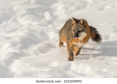 Grey Fox (Urocyon cinereoargenteus) Looks Up From Snow Winter - captive animal
