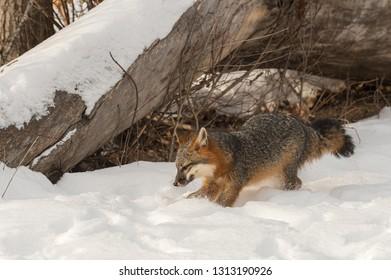 Grey Fox (Urocyon cinereoargenteus) Roots in Snow Winter - captive animal