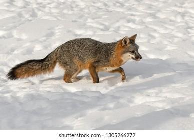 Grey Fox (Urocyon cinereoargenteus) Steps Right Through Snow Winter - captive animal