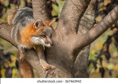 Grey Fox (Urocyon cinereoargenteus) in Tree  - captive animal