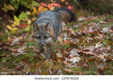 Grey Fox (Urocyon cinereoargenteus) Trots Forward Autumn - captive animal