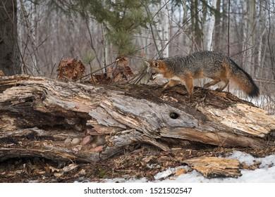 Grey Fox (Urocyon cinereoargenteus) Walks Across Log Winter - captive animal