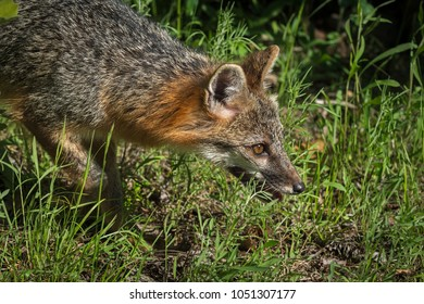 Grey Fox Vixen (Urocyon cinereoargenteus) Goes Right Closeup - captive animal
