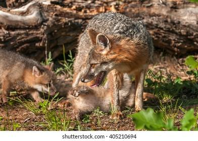 Grey Fox Vixen (Urocyon cinereoargenteus) with Two Kits - captive animals