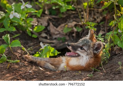 Grey Fox Vixen (Urocyon cinereoargenteus) With Mosquito on Nose - captive animal