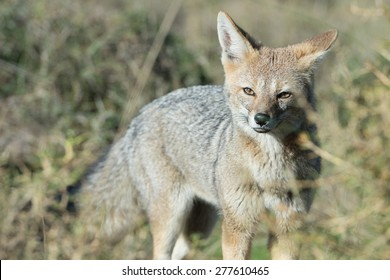 grey fox while hunting on the grass background